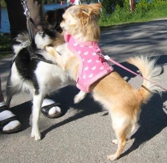 hundar som skäller på andra hundar